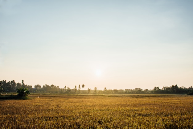 Golden rice field in the morning light, at thailand.