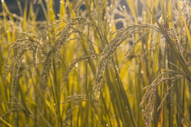 Golden rice fields in morning
