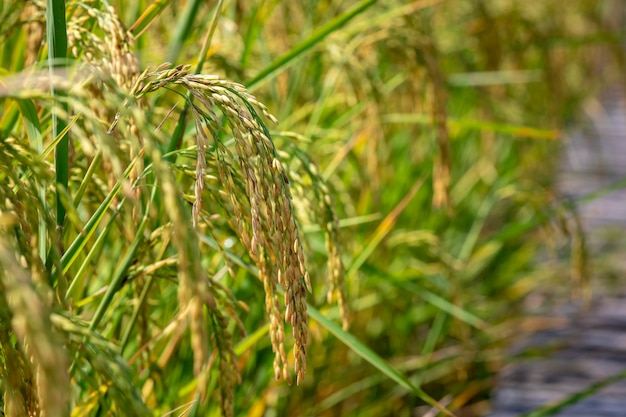 Golden rice raw in agricultural farm close up to spot focus area