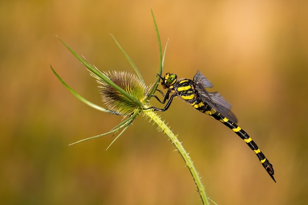 Golden ringed dragonfly on green plant