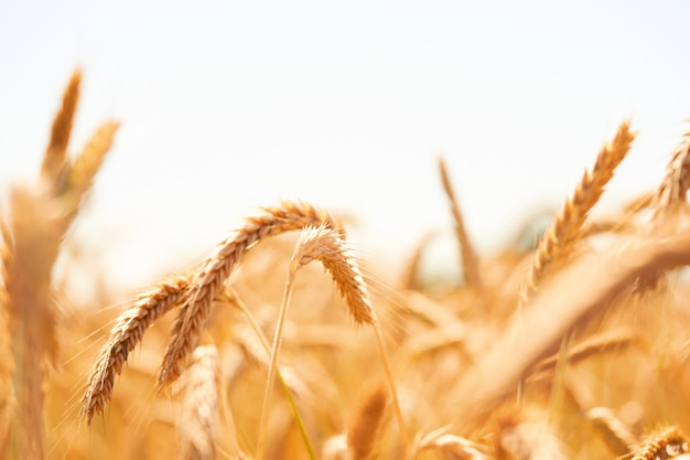 Золотые спелые колосья пшеницы заделывают. созревающие колоски пшеницы в сельском крупном плане луга. яркие спелые