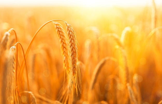 Golden ripe ears of wheat on nature in summer field at sunset.
