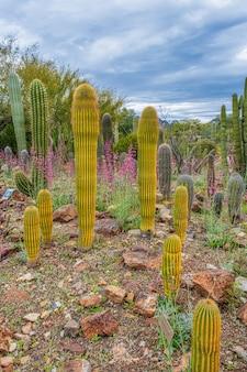 Golden saguaro cactus