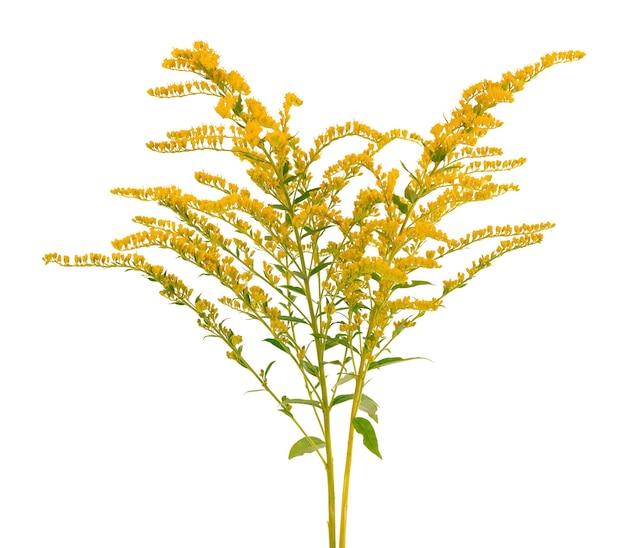 Golden solidago virgaurea flowers isolated on white background. ragweed bushes or ambrosia artemisiifolia. medicinal herbal plant.