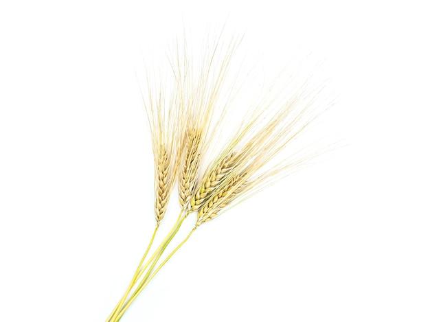 흰색 바탕에 호밀의 황금 spikelets 분리