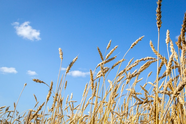 Golden spikelets of ripe wheat in the field on sky background