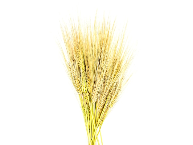 Golden spikelets of rye on a white background isolate