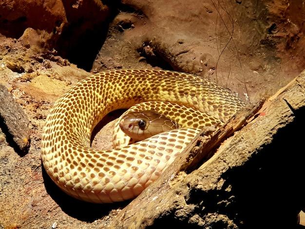 ヘビ農場の地面に金色の唾を吐くコブラ