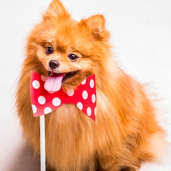 Golden spitz sticking out tongue with bowtie prop