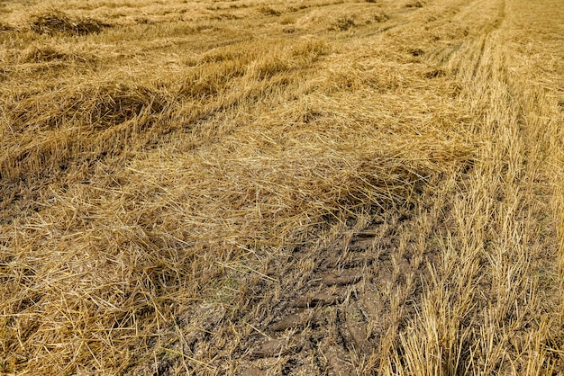 Golden straw on field with machine trace on ground
