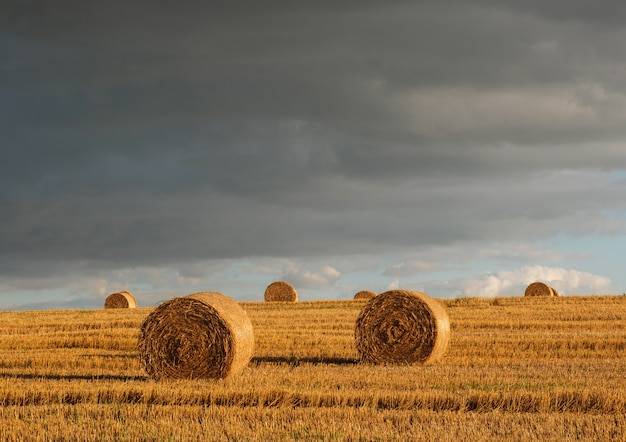 Golden straw rolls on a sloping wheat field on a summer evening after rain