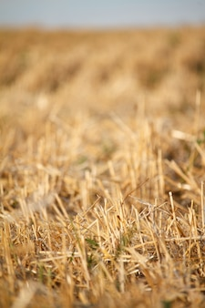 A golden stubble of mown wheat field against a blue sky, selective focus