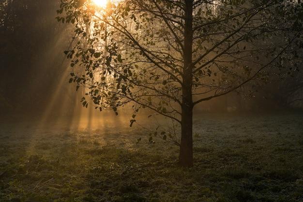 霧深い秋の早朝、木々に金色の太陽光線が差し込む