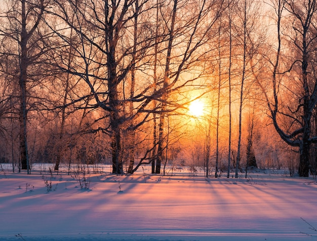 The golden sun in the winter forest