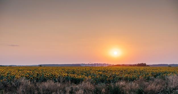 석양이 지는 주황색 일몰 하늘을 배경으로 하는 황금 해바라기, 여름 농업 배경