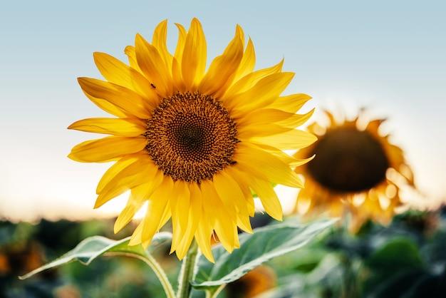 Золотой подсолнух в поле против голубого неба