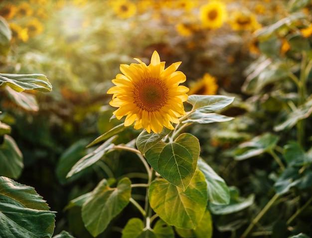 Золотой подсолнух в поле в лучах заходящего солнца