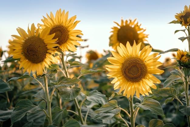 푸른 하늘 여름 농업 배경 해바라기 밭에 황금 해바라기