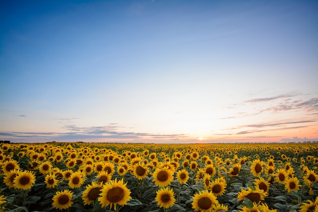 Golden sunflower plants at sunset in the countryside