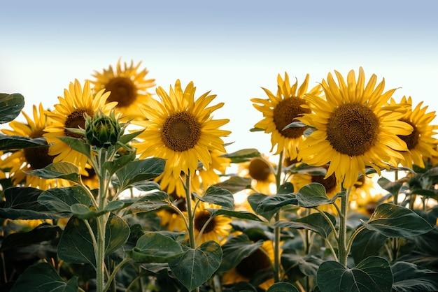 일몰 푸른 하늘 여름 농업 배경 해바라기 밭 필드에 황금 해바라기