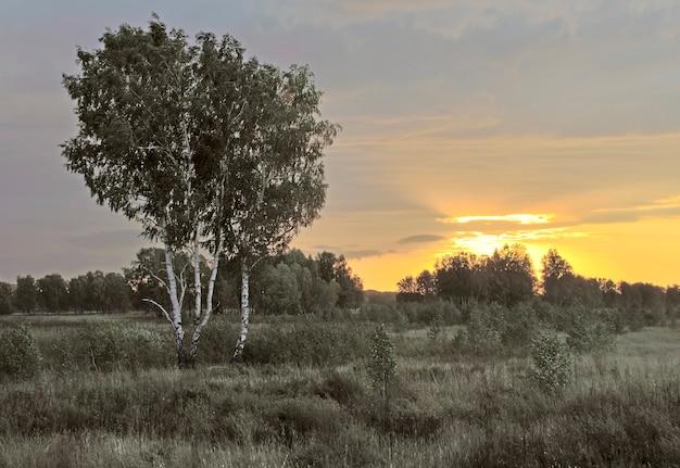 Golden sunrise over a birch field