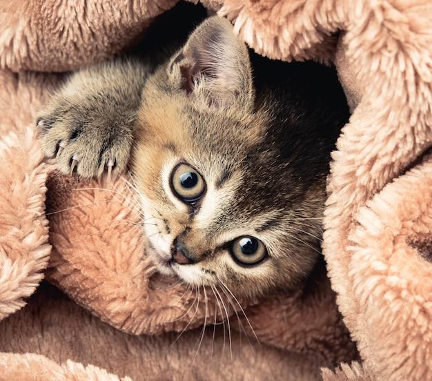 Золотой тикированный котенок британской шиншиллы крупным планом