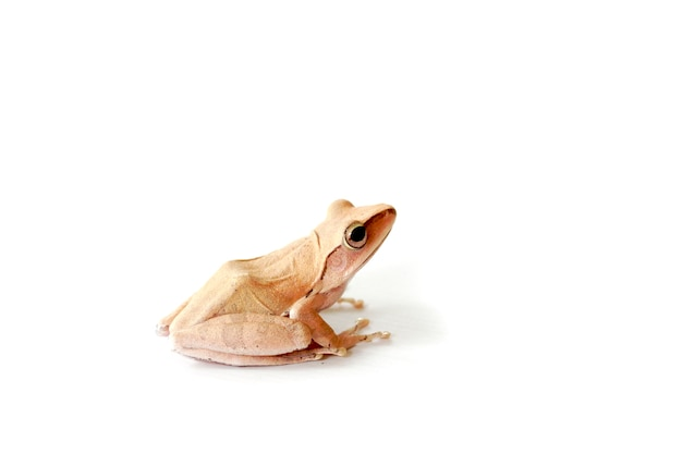 Golden tree frog, common tree frog on a white background