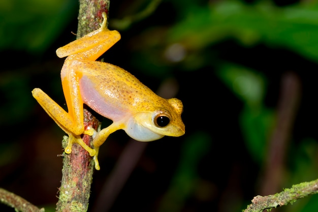 Golden tree frog,dwarf frog legs,aquixalus gracilipes