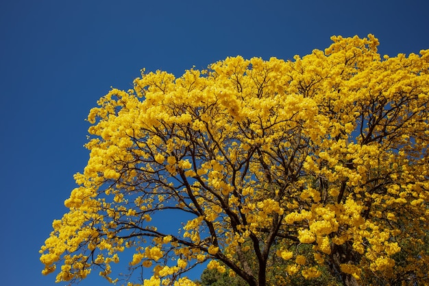 Golden tree or yellow tabebuia