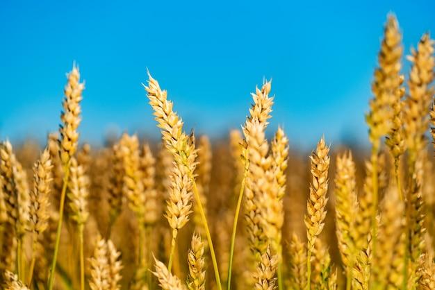 Золотая пшеница против голубого неба. красочная картинка. крупный план.