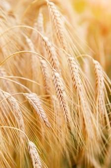 황금 밀 귀 또는 호밀 클로즈업. 호밀의 신선한 작물입니다. 빛나는 햇빛 아래 밀밭입니다. 시리얼 빵을 위한 씨앗이 있는 줄기. 농업 수확 성장.