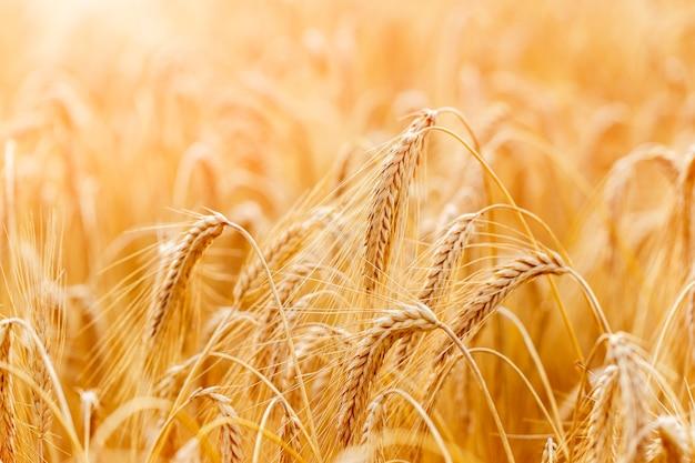 Золотые колосья пшеницы или крупный план ржи. свежий урожай ржи. поле пшеницы под ярким солнечным светом. стебель с семенами для зернового хлеба. рост урожая в сельском хозяйстве.