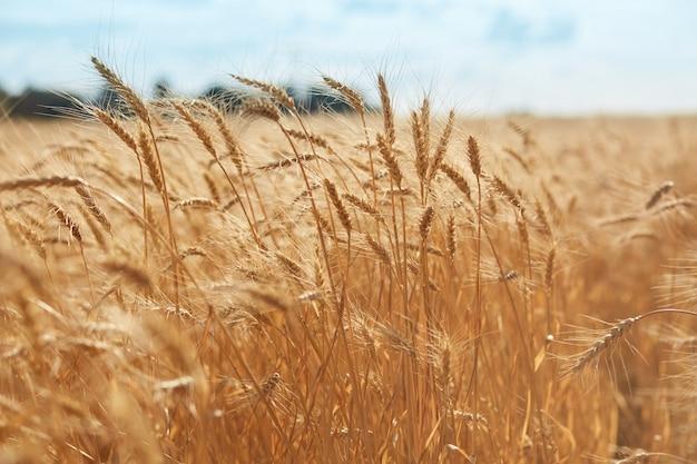 황금 밀밭과 밝은 푸른 하늘입니다. spikelets의 자연 사진을 닫습니다. 풍부한 수확의 개념