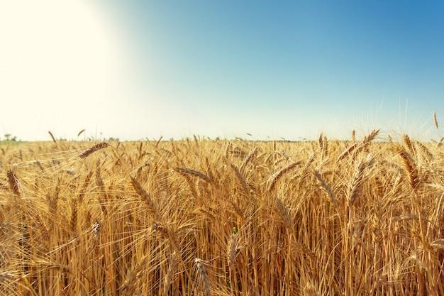 황금 밀밭과 화창한 날