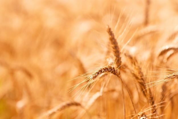 Golden wheat field closeup