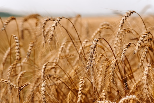 夏の黄金の麦畑