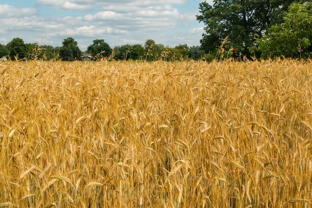 Концепция урожая ландшафта золотого поля пшеницы
