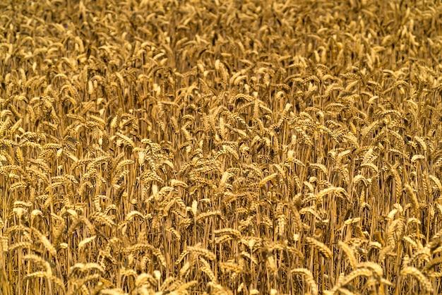 晴れた日に黄金の麦畑