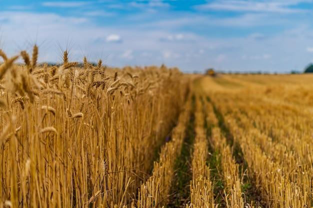収穫の準備ができている黄金の麦畑。黄色い植物の上の青い空。