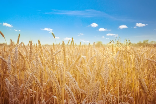 Golden wheat field in summer with clear blue sky wallpaper for background