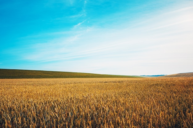 Golden wheat field with blue sky