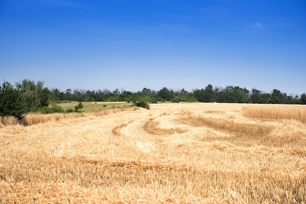 A golden wheat field with a clear blue sky in a rural meadow area.