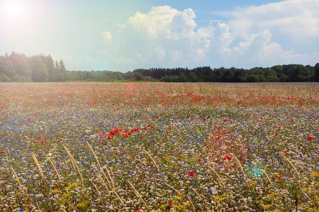 빨간 양 귀 비 꽃과 황금 밀밭입니다. 햇빛과 푸른 하늘이 있는 붉은 양귀비의 들판