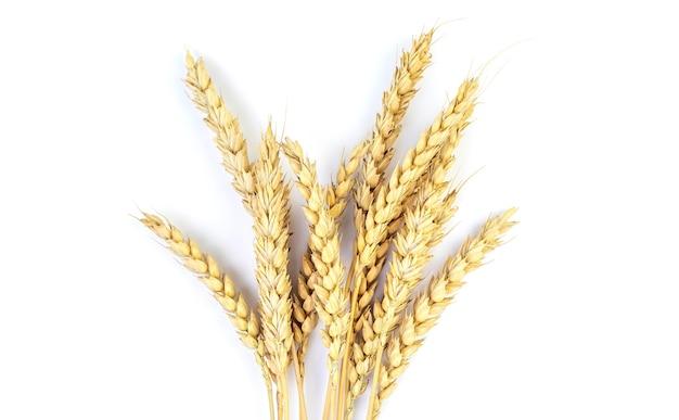 Золотая пшеница на белом фоне. закройте спелые колосья пшеницы.