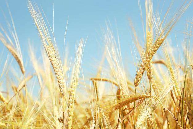 青い空の表面に金色の小麦