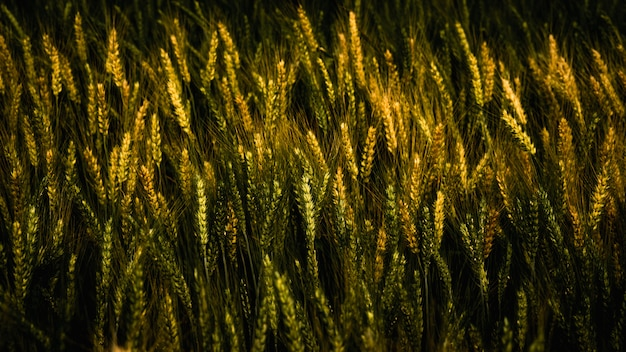 Golden wheat pattern on farm in summer.