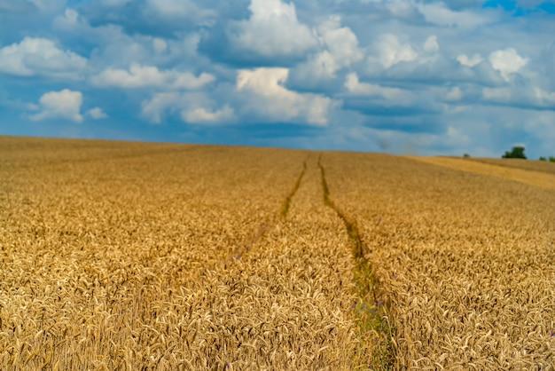 Золотая пшеница готова к сбору урожая. пшеница растет на поле фермы под голубым небом.