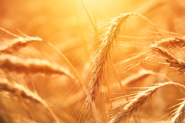 Golden wheat spikelets and blue sky