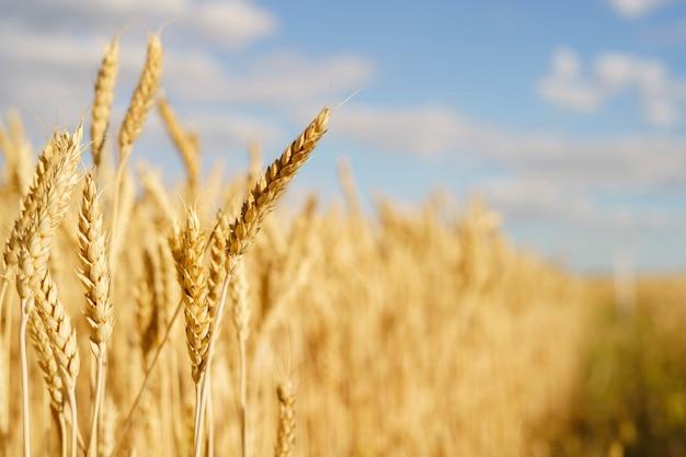 Golden wheat spikes backlit