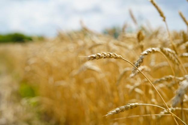 Golden wheat spikes